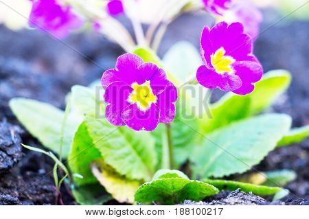 Flowers of Primula juliae, Julias primrose or purple primrose in the spring garden