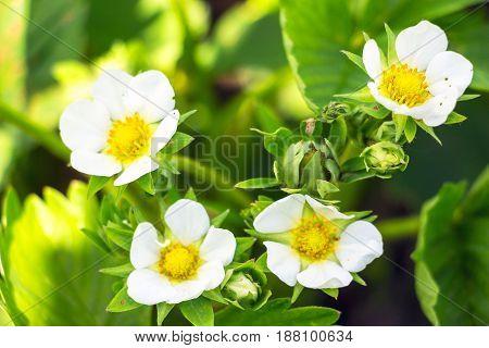Strawberry flowers in the spring garden. Soft focus