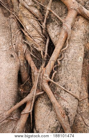close up dry banyan bark tree texture