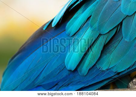 Detail of a feather parrot Blue-and-yellow. Parrot-like multicoloured blue feathers.