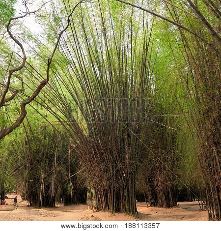 Grove of tall bamboo trees in shades of green