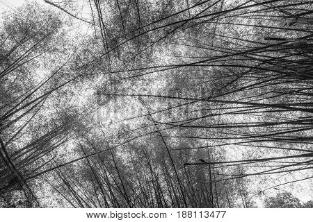 Canopy formed by tall bamboo trees in black and white