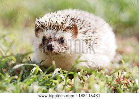 Little Hedgehog on green lawn in backyard