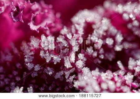 Morning frost in flower - macro picture