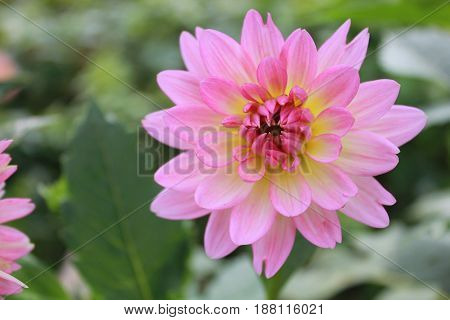 Pink dahlia in the garden at summer