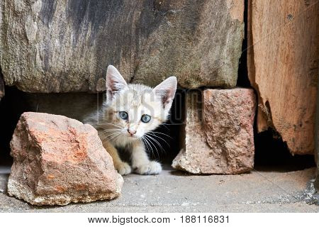 Grey kitten with piercing eyes looking from under a door