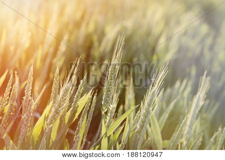 Unripe green wheat field (green wheat field) - green wheat field lit by sunlight, sunset in wheat field