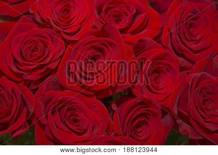 bright purple roses. beautiful bouquet of juicy bright lilac roses