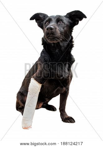 Black dog's leg is wrapped in a bandage. Broken paw painful stare.