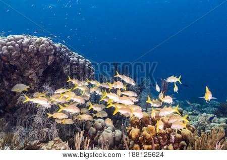 schoolmaster snapperLutjanus apodus is a colorful subtropical fish found over coral reef areas along the coasts of Florida the Bahamas and the Caribbean
