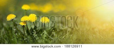 Summer concept - web banner of yellow dandelion flowers