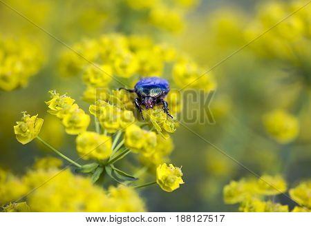 Rose chafer (Cetonia aurata) bug eating yellow flowers