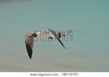 Laughing gull in flight over tropical ocean waters.