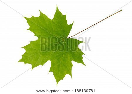 Young light-green leaf of maple tree isolated on white