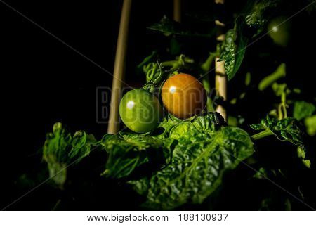 Small green and orange tomatoes home grown