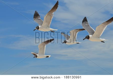 Group of four laughing gulls in flight.