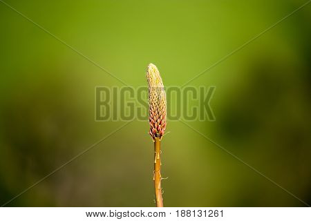 Unopened flower bud in nature. In the spring