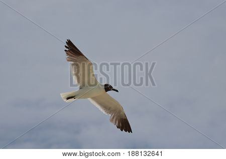 Wings spread on a laughing gull in flight.