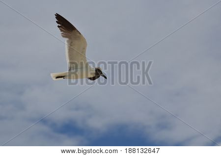 Gorgeous laughing gull gliding through the skies with his wings spread.