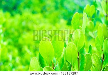 The Leaves Or Leaf Of Green Mangrove On Tree In Mangrove Forest. Soft Focus