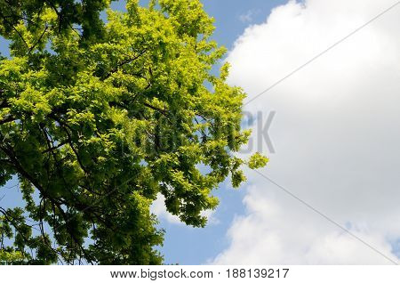Beautiful Spring forest. Young green leaves of the oak trees against bright spring blue sky and sun light.