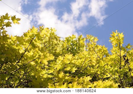 Beautiful Spring forest. Young green leaves of the maple trees against bright spring blue sky and sun light.