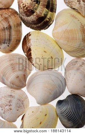 set of conch mollusc shells isolated on white background