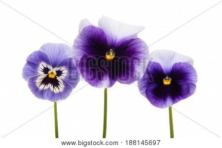 Pansies blue flower isolated on white background