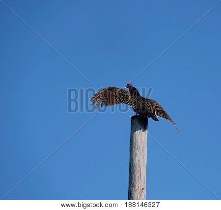 Turkey vulture on a telephone pole against a blue sky
