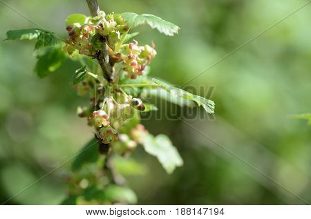 Flowers And Young Leaves On A Bush Of Currant Close Up