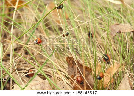 A Cluster Of Ladybirds On The Grass