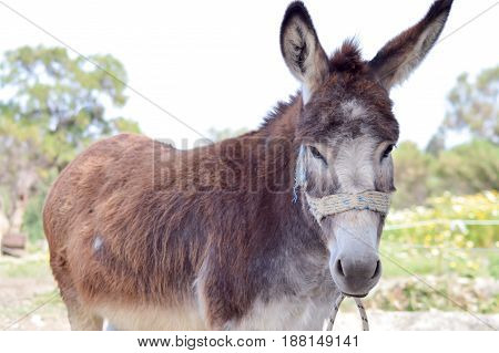 Brown donkey front view in a prairie on the island of Crete