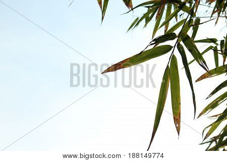 Bamboo leaves on the blue sky for background