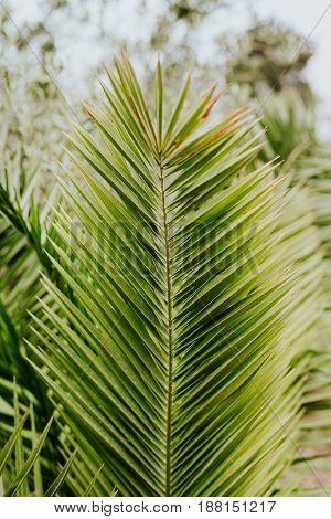 Canary date palm tree leaf