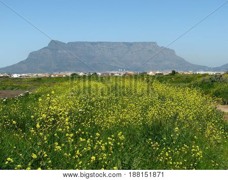 FROM CAPE TOWN, SOUTH AFRICA, COLORFUL VEGETATION IN THE FORE GROUND, WITH TABLE MOUNTAIN IN THE BACK GROUND
