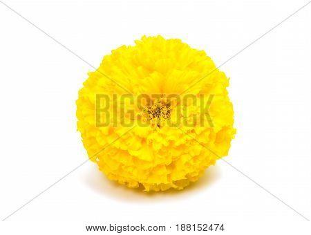Marigold beautiful flower isolated on white background