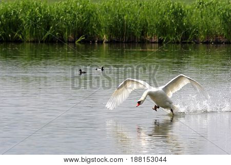 swan with spread wings in the water starting to fly