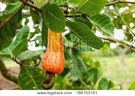 The cashew nut red ripe on the tree.