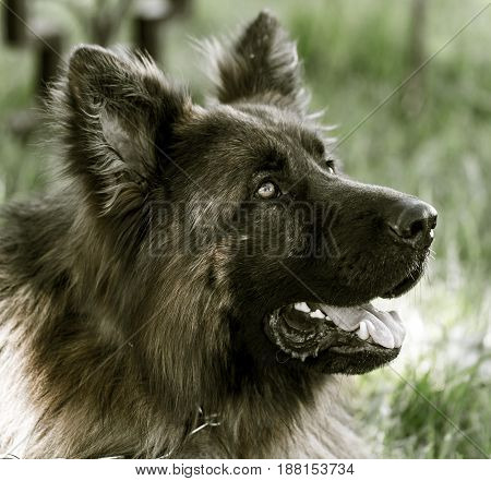 A portrait of a thoroughbred dog in nature .