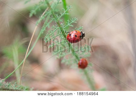 A Pair Of Ladybirds On The Grass