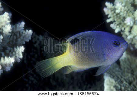A Tracey Damselfish, (Chrysiptera traceyi) swims among coral at the Kwajalein Atoll in the Pacific
