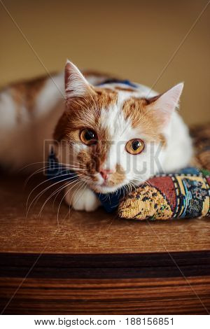 Red Beautiful Cat Lying On Soft Pillow Relaxation