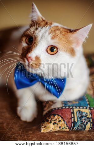 Cute Red Cat With Bow Tie Portrait Looking Eyes