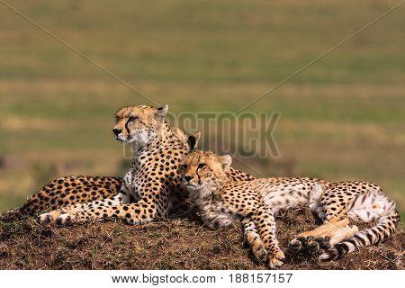 The family of cheetahs is watching. Masai Mara, Kenya