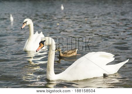 Beautiful Swans In The Water.