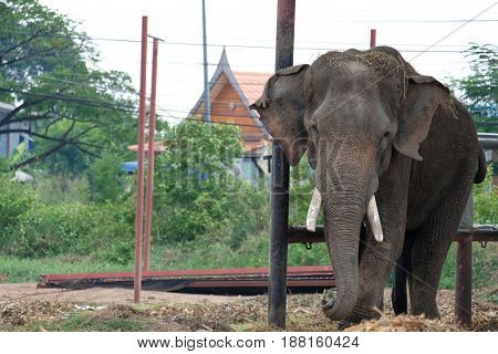 The male elephant is standing looking forward.