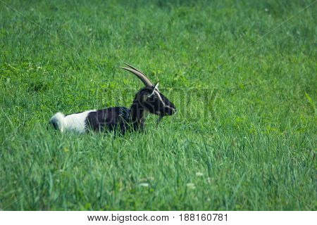 goat resting on a green grass meadow field at sunny summer day. side view landscape shot with a lot of space for text