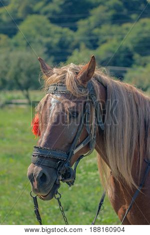 portrait of a horse with chestnut hair mane with green background on a field