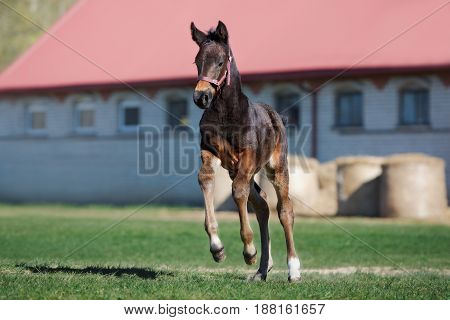 adorable foal running on a field in summer