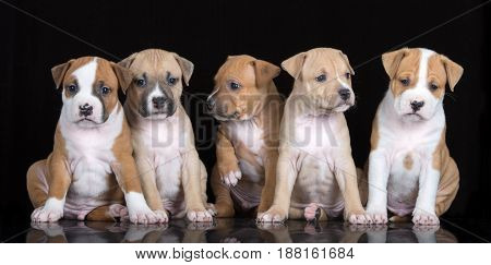 five adorable puppies sitting on black background